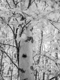 Aspen in Black and White