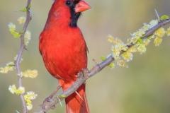 Northern-Cardinal-CFH175894_hi_rez_wm