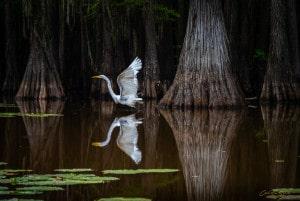 Egret At Caddo Lake