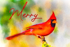 Northern-Cardinal-CFH176141-Edit-Edit_low_rez