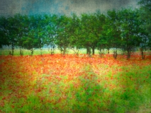 Bright and Cheery Field of Red Poppies
