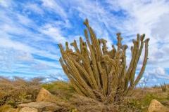 Cactus-CFH160086_hrwm
