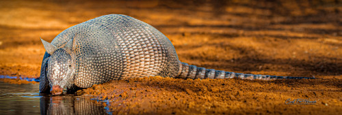 Armadillo-175502-Edit-2_hi_rez