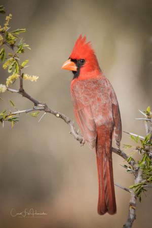 Northern-Cardinal-CFH17765_hi_rez_wm-2