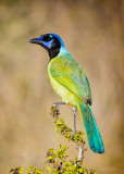 Green-Jay-CFH176156_hi_rez_wm