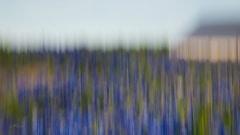 Bluebonnets-CFH18050664-Edit_hi_rez