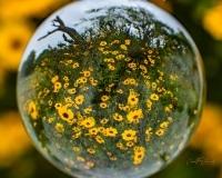 Coresopsis in Lens Ball