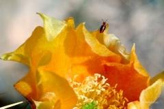 Prickly-Pear-Bloom-CFH06Westhoff-3_hrwm