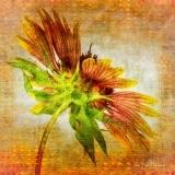 Blanketflower at Odds