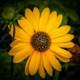 On the Square: Helianthus