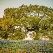 Bluebonnets under oak tree